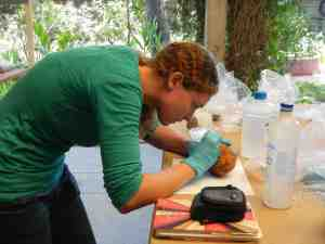 Taking starch grain samples from ground stone pieces this summer at the New World Archaeological Foundation